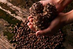Гайки сосны и пригорошня конусов сосны ели кедра стоковые изображения