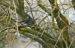 Галка в дереве Стоковые Фото