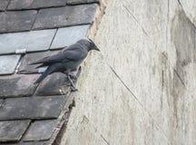 Галка садилась на насест на крыше шифера в Великобритании Стоковая Фотография RF