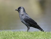 Галка, monedula Corvus Стоковое Изображение