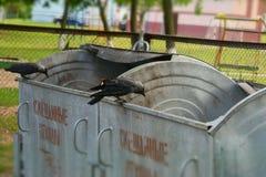 Галки на мусорных ящиках Стоковые Фото