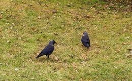 2 галки одичалых птиц черных идут вдоль зеленого поля Стоковые Фото