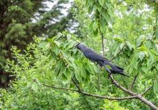 2 галки подавая плодоовощ вишневого дерева Стоковые Фото
