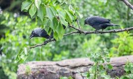 2 галки садить на насест на вишневом дереве в великобританском саде Стоковые Фотографии RF