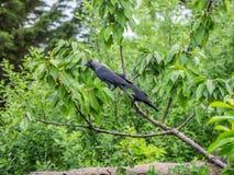 2 галки садить на насест на вишневом дереве Стоковая Фотография
