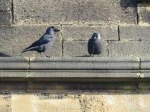 2 галки стоя на карнизе церков песчаника Стоковое Изображение RF