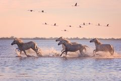 Галоп бега белых лошадей в воде на фоне фламинго на заходе солнца, Camargue летания, Франции стоковое изображение