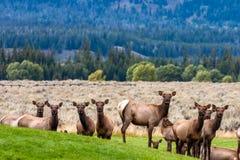 Гарем лося ожидая их лося быка во время брачного периода Стоковые Фотографии RF