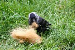 Галка собирая волосы коровы гористой местности Стоковые Фото
