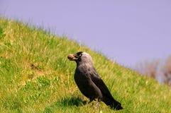 Галка (monedula Corvus) Стоковое Изображение