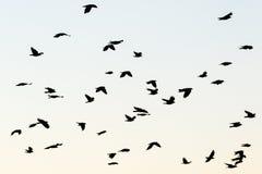 Галки в небе Стоковые Изображения