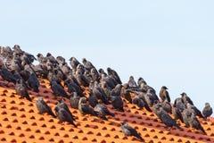 Галки сидя на крыше Стоковая Фотография RF