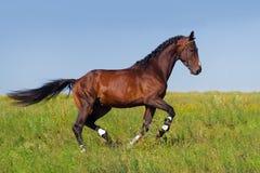 Галоп лошади залива Стоковые Фото