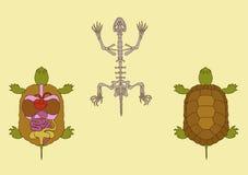 Гад, поперечное сечение и скелет иллюстрация штока