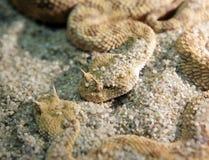 Гадюка змейки Horned Стоковое Фото