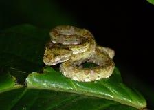 Гадюка ямы ресницы, schlegelii Bothriechis Стоковое фото RF