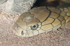 Гадюка Russel - ядовитая змейка Стоковое фото RF