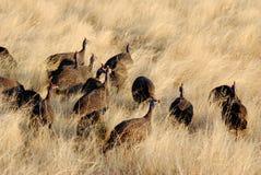 Гвине-птиц Стоковое Изображение RF