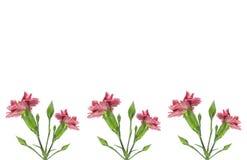 гвоздика граници цветет пинк Стоковое Изображение