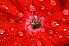 гвоздика одичалая Стоковая Фотография