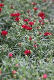 гвоздика Поле гвоздик с зелеными листьями и бутонами цветка в баке для украшения или подарка желтый цвет картины сердца цветков п Стоковые Фото