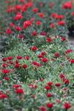 гвоздика Поле гвоздик с зелеными листьями и бутонами цветка в баке для украшения или подарка желтый цвет картины сердца цветков п Стоковая Фотография RF