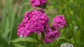 Гвоздика цветет цветене в саде сток-видео