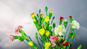 Гвоздика цветет цветение, промежуток времени сток-видео