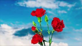 Гвоздика цветет цветение, промежуток времени видеоматериал
