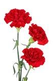 гвоздика цветет 3 Стоковое Изображение RF