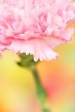 гвоздика Стоковая Фотография RF