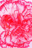 гвоздика Стоковое фото RF