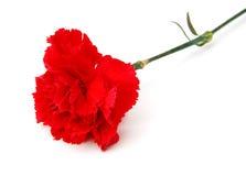 гвоздики цветут красный цвет Стоковые Фото
