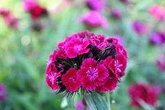 Гвоздика зацветая в саде Стоковая Фотография