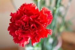 Гвоздика 2 красных цветов Стоковая Фотография