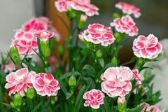 Гвоздика цветет в пинке с белой границей (caryophyll гвоздики Стоковое Фото