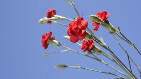 гвоздика цветет красный цвет акции видеоматериалы