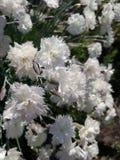 гвоздики белые Стоковые Изображения
