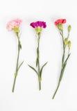 гвоздики цветастые Стоковое Изображение RF
