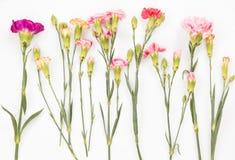 гвоздики цветастые Стоковая Фотография