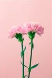 Гвоздики цветка Стоковое Изображение