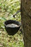 Гевея природного каучука Стоковое Изображение