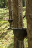Гевея природного каучука Стоковое Фото