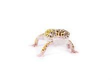 Гекконовые леопарда Стоковая Фотография RF
