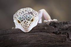 Гекконовые леопарда Стоковые Фотографии RF