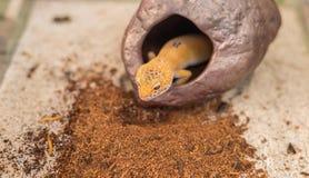 гекконовые леопарда & x28; Macularius& x29 Eublepharis; ящерица на песке Стоковые Фотографии RF