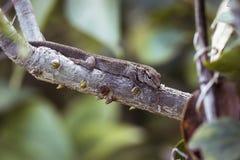 Гекконовые карлика накидки Стоковое фото RF