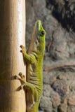Гекконовые дня Koch гигантские (madagascariensis kochi Phelsuma) Стоковая Фотография RF