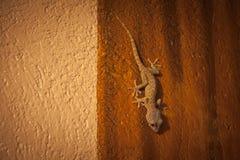 Гекконовые, Филиппины Стоковое Фото