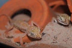 Гекконовые petrii Stenodactylus Стоковое фото RF